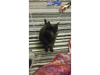 Black female cat