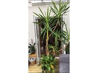Tall yucca and peace Lilly plant