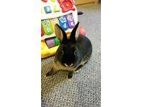 Netherland dwarf spayed female rabbit