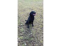 15 month black labrador