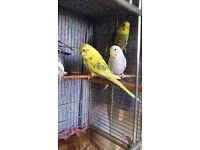 Baby Budgies for Sale (8-10 Weeks)