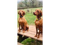 stunning Litter of Hungarian Vizsla pups