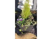 """Black 12"""" Sq Tub with Conifer, Violas, Ivy & Heather."""