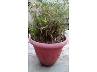 Dwarf bamboo shrub with large pot £10.00