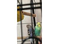 2 Budgie with complete cage and hanging stand