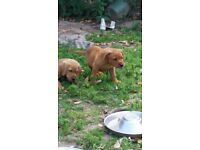 Pedigree labrador puppys