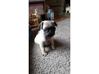 Quality pure bred pug puppy, 1 boy left - ready now