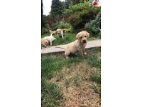 Stunning Labrador puppies
