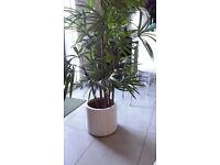 Habitat Store - White Ceramic Contemporary Planter & Articial Lady Palm Set