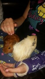 2 guinea pigs and 2 tier hutch