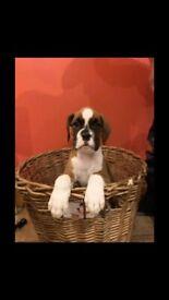 IKC boxer pups