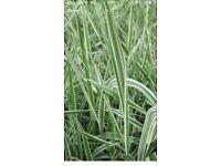 Pond Plants Green Reed Grass