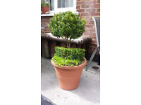 Topiary buxus tree. Garden plants flowers shruds ornaments furniture table chairs hot tub pot hose