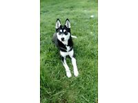 Husky /German Shepherd cross for sale