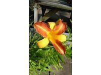 Day Lily Hemerocaulis hardy plants all proceeds to WILD HEDGEHOG charity