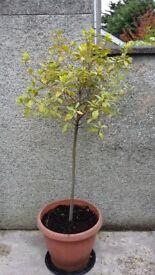 BAY TREE ( laurel leaves )