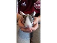 baby lion/mini lop rabbits