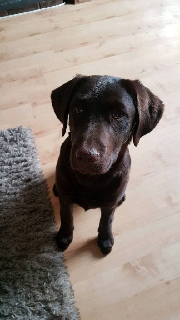 Beautiful Chocolate Female Lab 5 Months Old In Tywyn Gwynedd