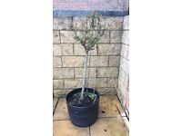 Needs to Go asap! Rehoming my Lovely standard Potted Rose Tree in a gorgeous pink Colour