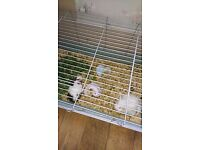 Guinipigs and indoor cage