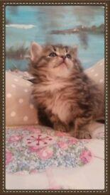 Ragdoll / Syberian kittens for sale.