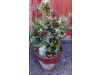 Olive tree healthy smothered in flowers evergreen
