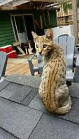 Purebred Savannah kittens