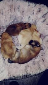 Puppies Pomeranian