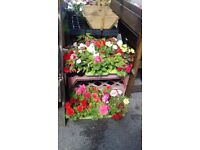 Plants, Planters, Hanging Baskets,To Clear, (Plants from under £1) - YARD CLEARANCE