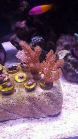 Soft coral pack