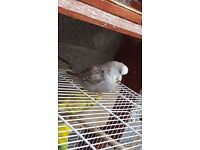 Grey female budgie for sale in bristol