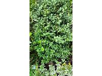 Buxus Topiary/Hedges plants