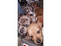 Jack Russell/Daschund/Chihuahua Cross Pups for Sale £100