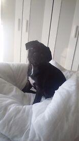 5 1/2 month old black girl pug