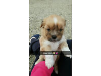 3 Lhasa Apso pups for sale.