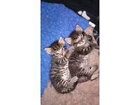 Ragdoll x Bengal kittens