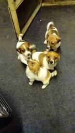 Jack Russell pups (miniature)