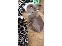 Rabbit with or without cage for sale