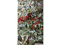 Fresh bunch of holly with berries