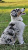 WANTED: australian shepherd blue merle puppy!!