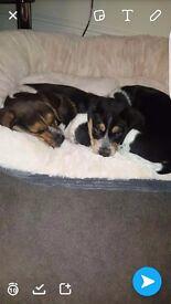 Beagle + spaniel puppy
