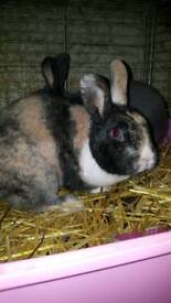 2 male rabbits with cage etc