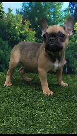 Triple Carrier Male Sable Frenchie