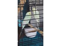 2 light green budgies for sale
