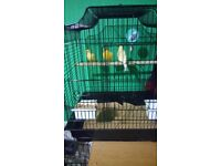 i have got 3 canary with cage