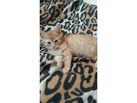 GORGEOUS GINGER KITTENS ON SALE