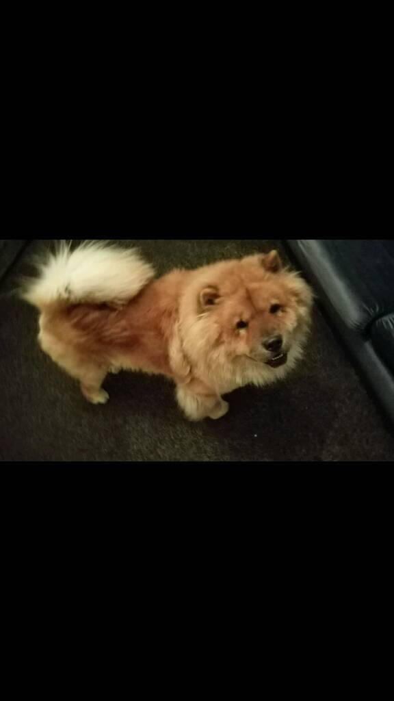 3 year old Chinese Chow Chow Male