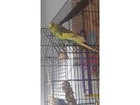 Green/yellow 1 year old budgie with a cage