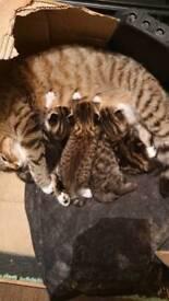 Special Turkish kittens angora