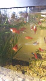 red swordtails